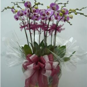 12 Stems Orchid Plant